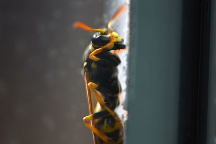 Let me in... Outdoors Close-up Wasp Wasp Macro European Paper Wasp Paper Wasp Polistes Dominulus Window Glass At The Window Insect Insects  Animals Animal Portrait Animal Themes Animals In The Wild Springtime Let Me In Macro Macro Insects Transparent Wildlife Photography Nature One Animal Window Frame