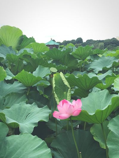 Lotus Flower Flowering Plant Plant Freshness Beauty In Nature Pink Color Leaf