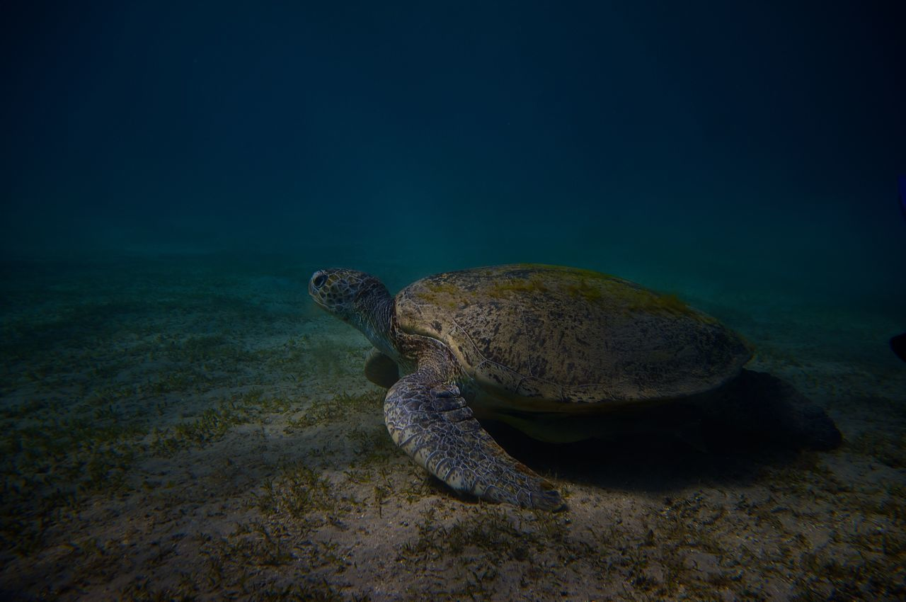 one animal, turtle, animals in the wild, animal themes, reptile, nature, sea turtle, sea, underwater, animal wildlife, no people, water, sea life, undersea, day, beauty in nature, tortoise, swimming, outdoors, close-up, tortoise shell
