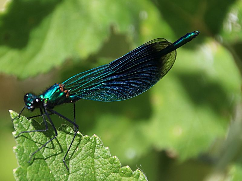 Banded Demoiselle Bugslife Forest Floor Wildlife Photography Naturelovers Nature_collection Wildlife Insect Insect Photography Pond Life Dragonfly Dragonflies Bugs Insects