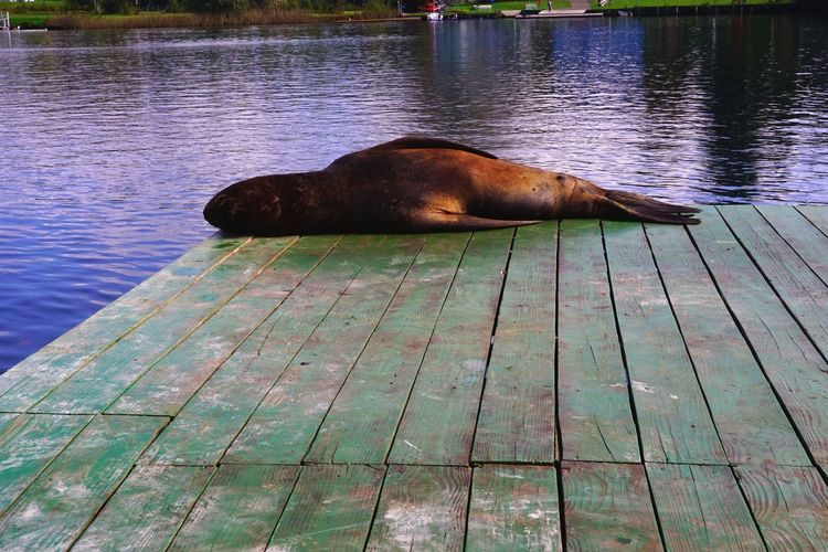 Naptime Animal Themes Animals In The Wild Sealion  Seal Mammal Water Green Color Blue Green Rest Holiday Travel Sea Lion Aquatic Mammal Relaxation Pier Chile Valdivia