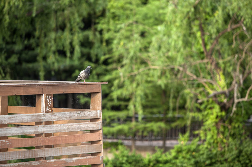 Animal Themes Animal Wildlife Avian Beauty In Nature Bird Day Dove Fence Focus On Foreground Green Color Lonely Nature No People Outdoors Park Perching Pigeon Selective Focus Seonyudo Sole Spread Wings Tree Watching Wildlife Wooden