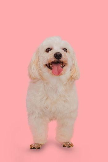 Portrait of dog sitting against pink background