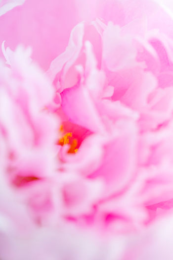 Macro photography of pink peony. The concept of Nature beauty and blossom. Pink Romantic Love Gift Spiral Bouquet Flowers Peony  Flower Valentine Beautiful Fondness Macro Nature Beauty Secret Affection Celebrate Relationship Soft Florist Tenderness Holiday Birthday Wedding Present Congratulation Femininity Filter Photography Floral Red Violet Purple Roses Female Beauty Blossom Happy Spring Background Decoration The Minimalist - 2019 EyeEm Awards