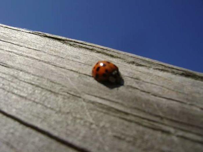 Ladybug Ladybug Beetle Wood Blue Sky