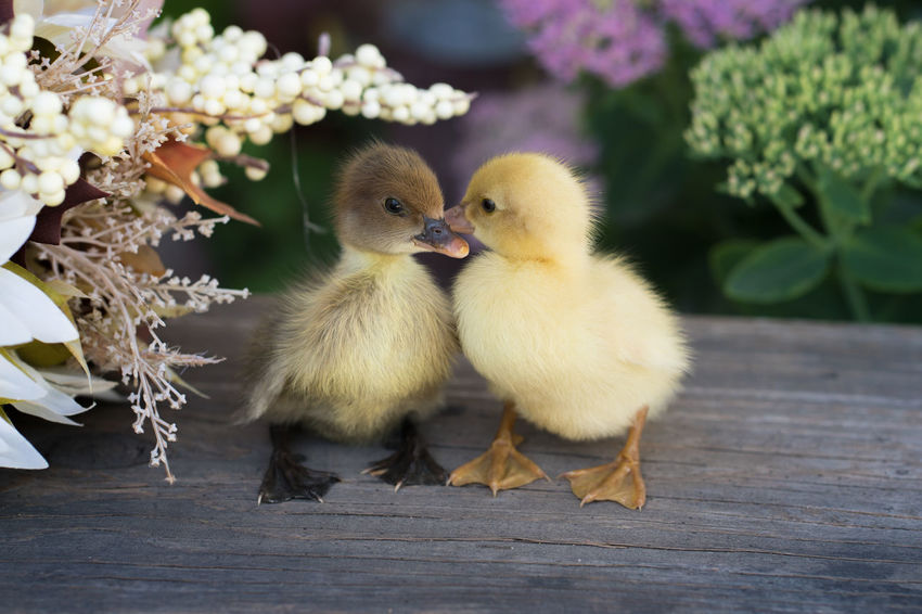 Baby Farm Animals Ducklings Ducks Flowers No People Outdoors Pairs Two Animals