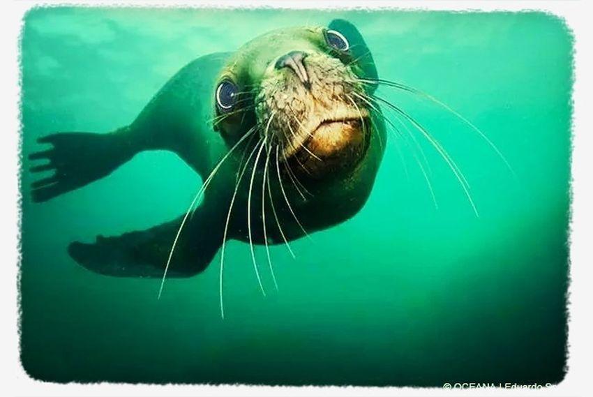 ? www.oceana.org Underwater Photografy Taking Photos Oceanachile Lobosmarinos
