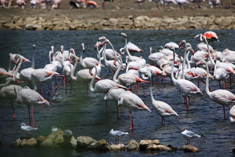 EyeEm Selects Large Group Of Animals Animals In The Wild Bird Animal Themes Flamingo Animal Wildlife Nature Flock Of Birds Day No People Outdoors Colony Lake Water Beauty In Nature answering your question on previous picture about what she is watching 😁😉