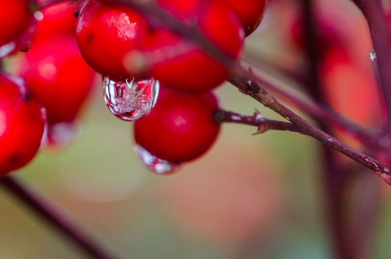 melting frozen dewdrop on red berry Close-up Dew Dew Drops Focus On Foreground Freshness Frozen Dewdrops Fruit Garden Hanging Leaf Light Macro Macro Photography Melting Red Selective Focus Stem Twig