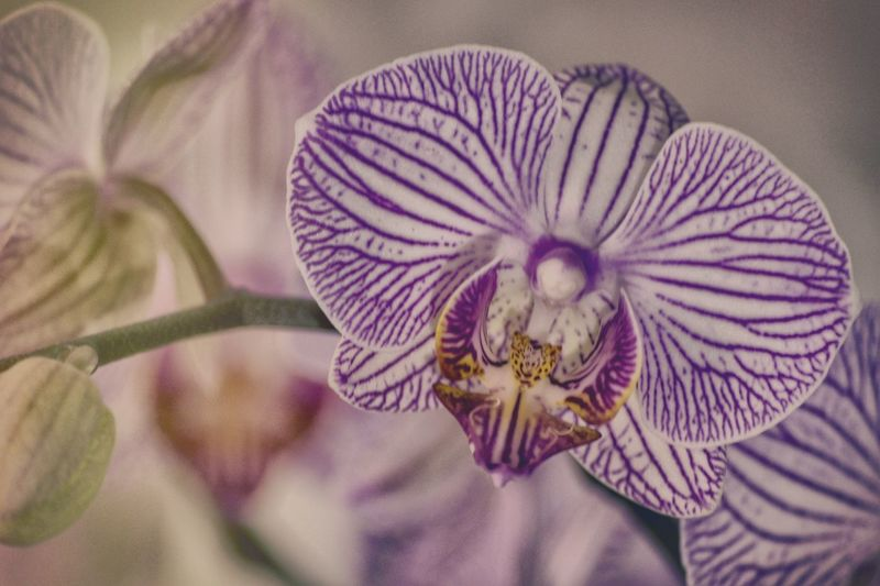 fragile Beauty In Nature Close-up Day Flower Flower Head Flowers Focus On Foreground Fragility Freshness Nature Orchid Orchid Orchid Blossoms Pale Pastel Pentax Petal Plant Purple Selective Focus