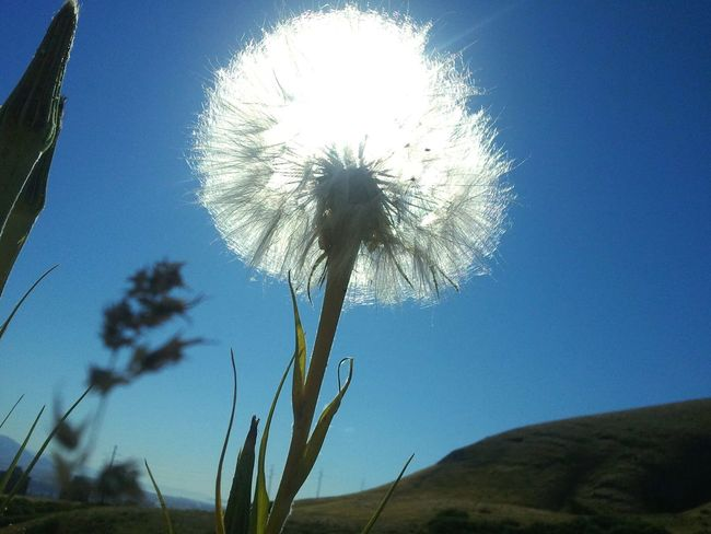 Flower Dandelion Nature Growth Beauty In Nature Clear Sky Outdoors Day Close-up Sky Sun Green Grass Potential