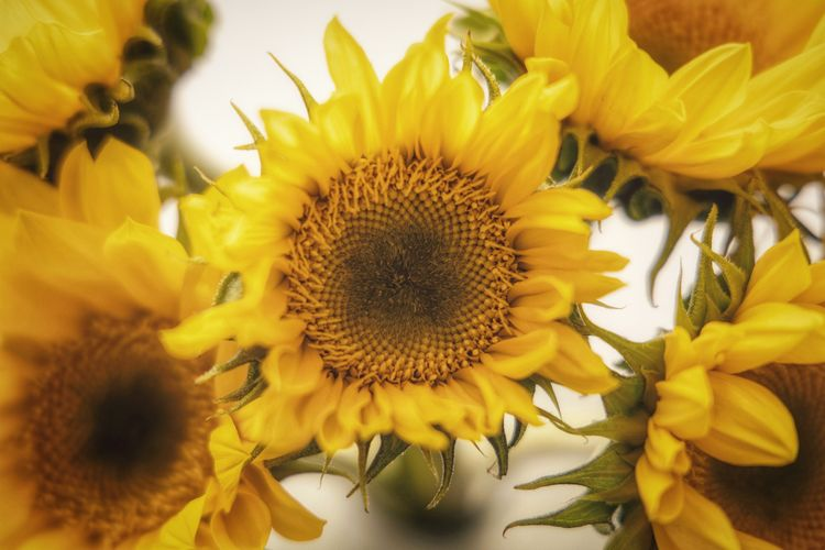 Sunflowers Flower Flowering Plant Yellow Petal Flower Head Plant Freshness Vulnerability  Fragility Beauty In Nature Close-up Sunflower Nature No People Full Frame