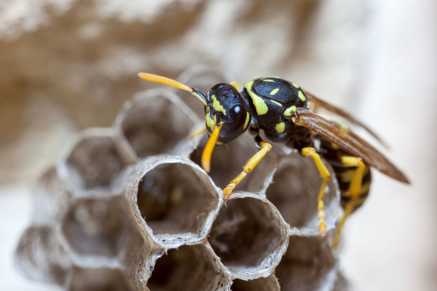 Paper Wasp building Nest Macro Photography Nesting Paper Wasp Animal Themes Animal Wildlife Animals In The Wild Bee Beehive Close-up Day Focus On Foreground Honeycomb Insect Macro Nature Nest No People Oculii One Animal Outdoors Paper Wasp Nest