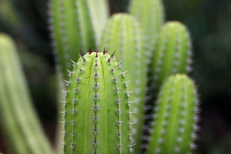 Cacti Cacti Succulent Plant Plant Cactus Growth Green Color Nature Thorn Spiked No People Day Natural Pattern Outdoors Sharp Selective Focus Spiky Beauty In Nature Africa
