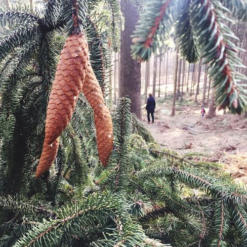 Forest Hiking Trees Pine Cone Pinecone Pine Cones Sächsische Schweiz Saxon Switzerland Saxony Enyoing Nature Nature Conected With Nature Winter Forest