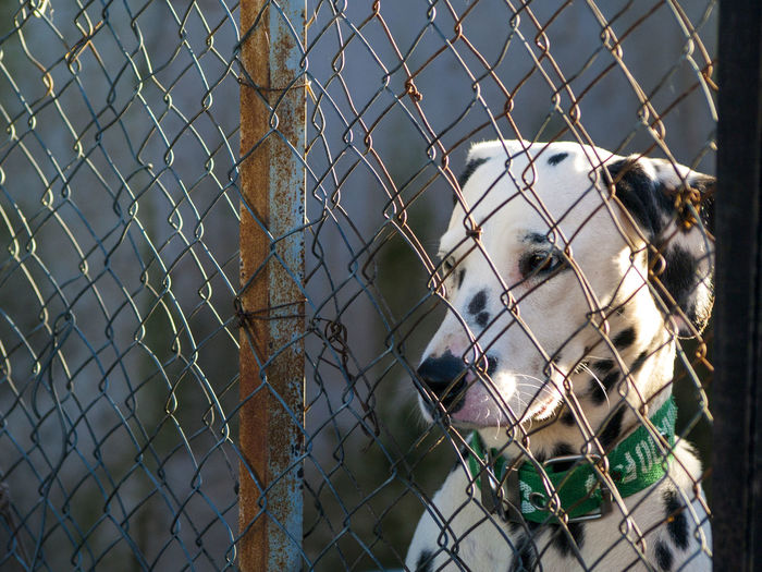 Abandoned Animal Themes Monthly Assignment April Cage Chainlink Fence Close-up Dalmatian Dalmatian Dog Depression Dog Dogs Fence Mammal Metal No People One Animal Prison Prisoner Protection Razor Wire Sad Sadness Safety Security Trapped