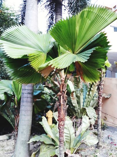 Fan leaves Huge Leaf Fan Leaves Green Leaves Tree Trunk Green Plants Garden Garden Photography Growth Leaf Plant Day Green Color Nature No People Outdoors Tree Close-up Palm Tree Beauty In Nature Freshness