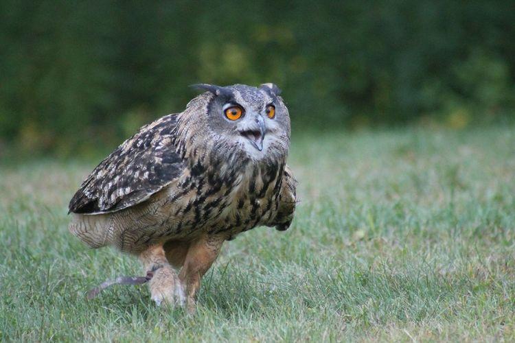 Owl On Field
