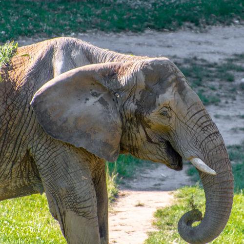 Ein glücklicher Elefant ? Elefant Opelzoo Gehege Freiheit Park Tier Zoo Taunus Königstein Nikon D500 Tamron 18-400mm Nikonphotography Nikonphotographer African Elephant Animal Trunk Elephant Tusk Safari Animals