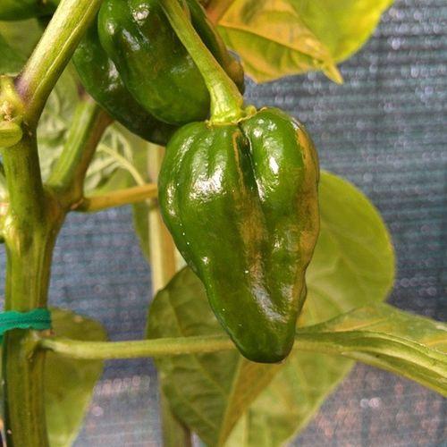 Piccoli habanero crescono!! Habanero Plant Scoville Choccolate summer love