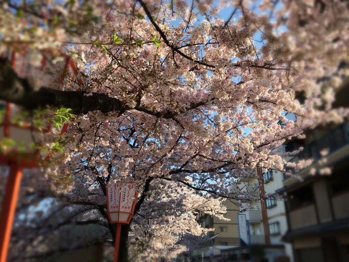 Sakura Kyoto Sakura Sky Kyoto Sakura 2017 Kyoto Sakura Cherry Blossoms Kyoto City Kyoto Spling Kyoto,japan Kyoto Street Kyoto Lamps Kyoto Sky
