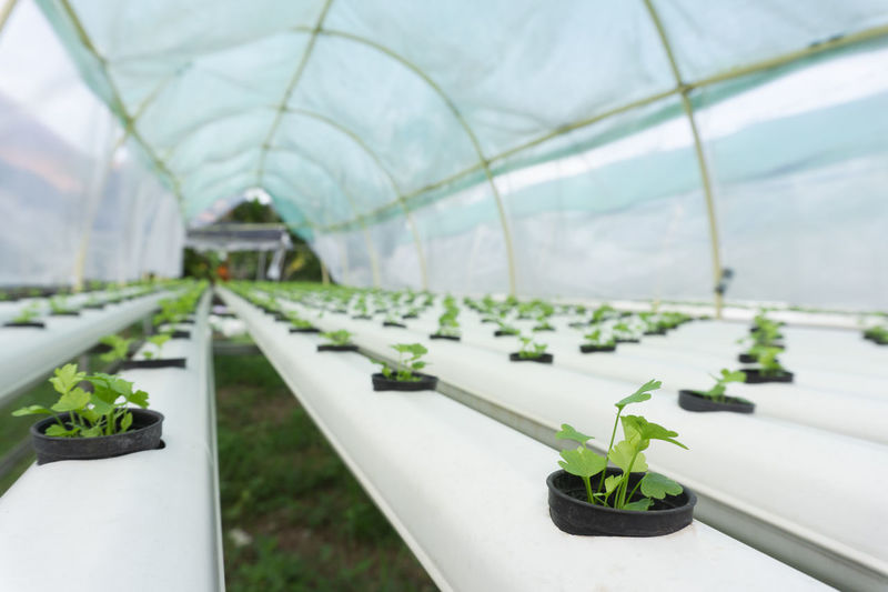 Hydroponics celery green vegetables. Agriculture Architecture Beauty In Nature Botany Day Diminishing Perspective Focus On Foreground Food Fruit Gardening Green Color Greenhouse Growth Helthy  Helthyfood Hydroponic Vegetables In A Row Indoors  Leaf Nature No People Plant Plant Nursery Plant Part Potted Plant