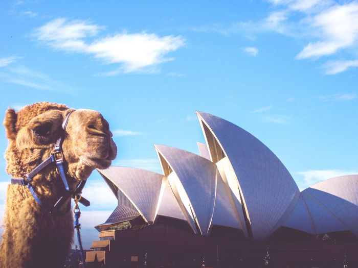 The Camel and the Opera House... (old now but my favourite shot from my time in Oz!) Architecture Sky Cloud - Sky Built Structure Day No People Mammal Outdoors Animal Themes Building Exterior Domestic Animals Nature City Close-up (null)Sydney Sydney Opera House Sydney, Australia Australia Camel The Architect - 2017 EyeEm Awards Neighborhood Map EyeEmNewHere The Street Photographer - 2017 EyeEm Awards Live For The Story Mix Yourself A Good Time