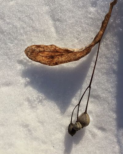 High Angle View Of Buds With Dry Leaf On Snow
