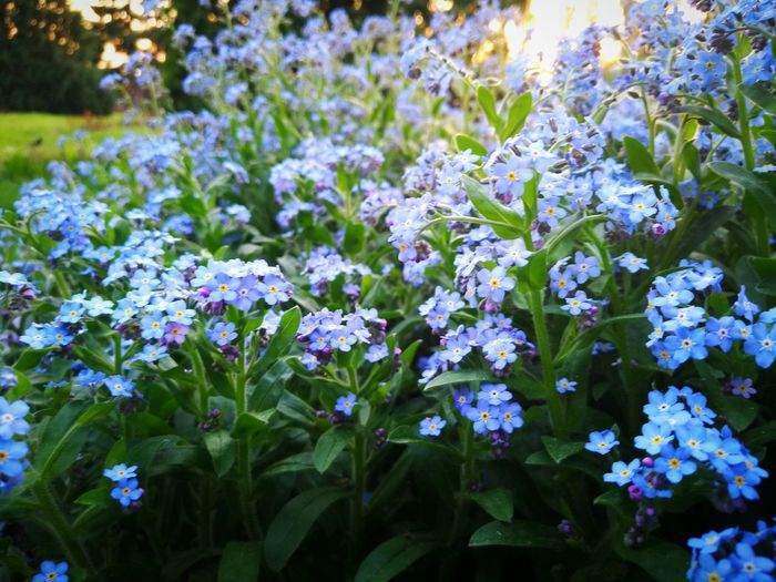 Blue Flowers Flowers In The Sunset Sunset Nature Spring Springtime Spring Flowers Flower Flower Head Multi Colored Flowerbed Leaf Purple Close-up Plant Green Color In Bloom Blossom Plant Life Botanical Garden