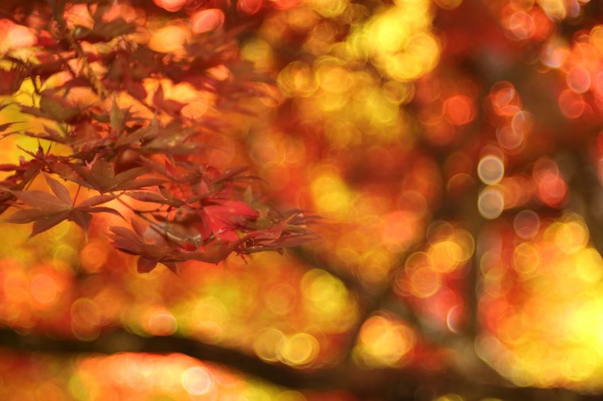 Delight. EyeEm Nature Lover Autumn Leaves Maple Leaf Beauty In Nature Shiga Japan Canon5Dmk3 Meyer-Optik-Görlitz Trioplan100 Soapbubblebokeh Bokehlicious