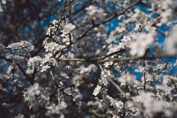 Springtime Decadence Plant Tree Branch Beauty In Nature Growth Fragility Day Selective Focus Flower Nature Snow Winter Cold Temperature Flowering Plant Springtime Close-up No People Blossom Vulnerability  Outdoors Ice Cherry Blossom Cherry Tree