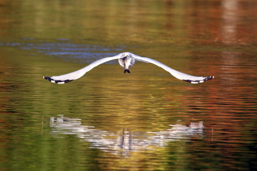 Gull with Fish Animal Behavior Animal Themes Animal Wing Animals In The Wild Beauty In Nature Bird EyeEm Nature Lover Fish Flying Lake Mid-air Motion Nature No People Outdoors Ring-billed Gull Sea Seagull Spread Wings Tranquility Water Water Bird Waterfront Wildlife Zoology