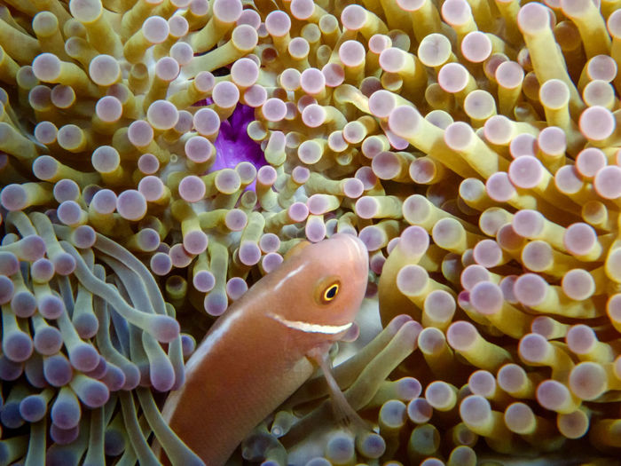 Pink anemonefish in anemone, Koh Tao and Koh Nang Yuan island, Thailand Animal Animal Themes Animal Wildlife Animals In Captivity Animals In The Wild Close-up Fish Marine Nature No People One Animal Sea Sea Anemone Sea Life Swimming UnderSea Underwater Vertebrate Water