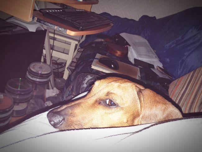 Indoors  Pets Funnypets Close-up Dachshunds Dogmodel Dachshund Mydog Funny Moments
