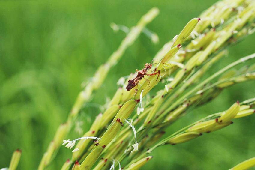 Food Rice Field Rice Planting Riceworld Bug Bugslife Bugs Life Bugs Mommade Foodporn Countryside