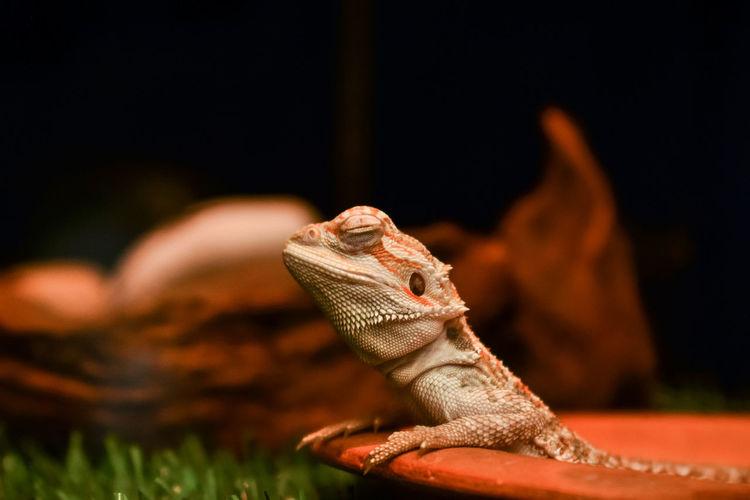 Close-up of lizard