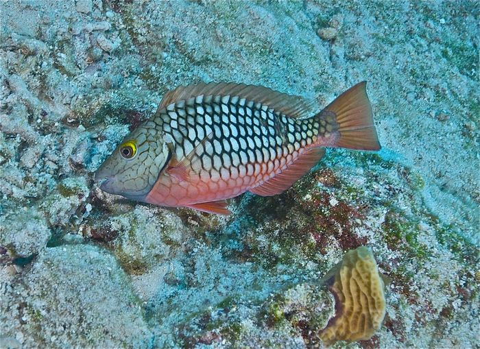 Bahamas Nassau Sparisoma Chrysopterum Animal Animal Themes Animal Wildlife Animals In The Wild Beauty In Nature Carribean Coral Fish Marine Nature One Animal Parrotfish Redtail Parrotfish Reef Fish Reef Life Saltwater Fish Sea Sea Life UnderSea Underwater Vertebrate Water