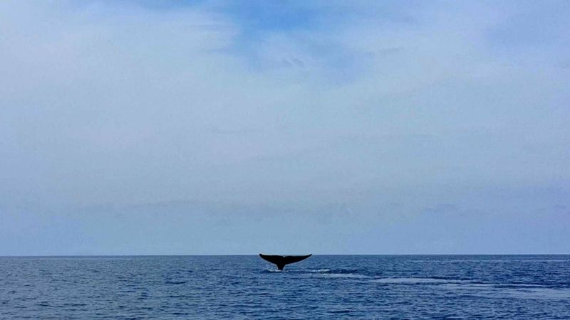 Whale Whale Tail Sea Seascape Blue Water Animals Animal Nature Waves Outdoors Horizon Horizon Over Water Sealine