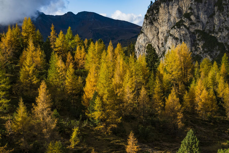Panoramic view of pine in autumn at italy.