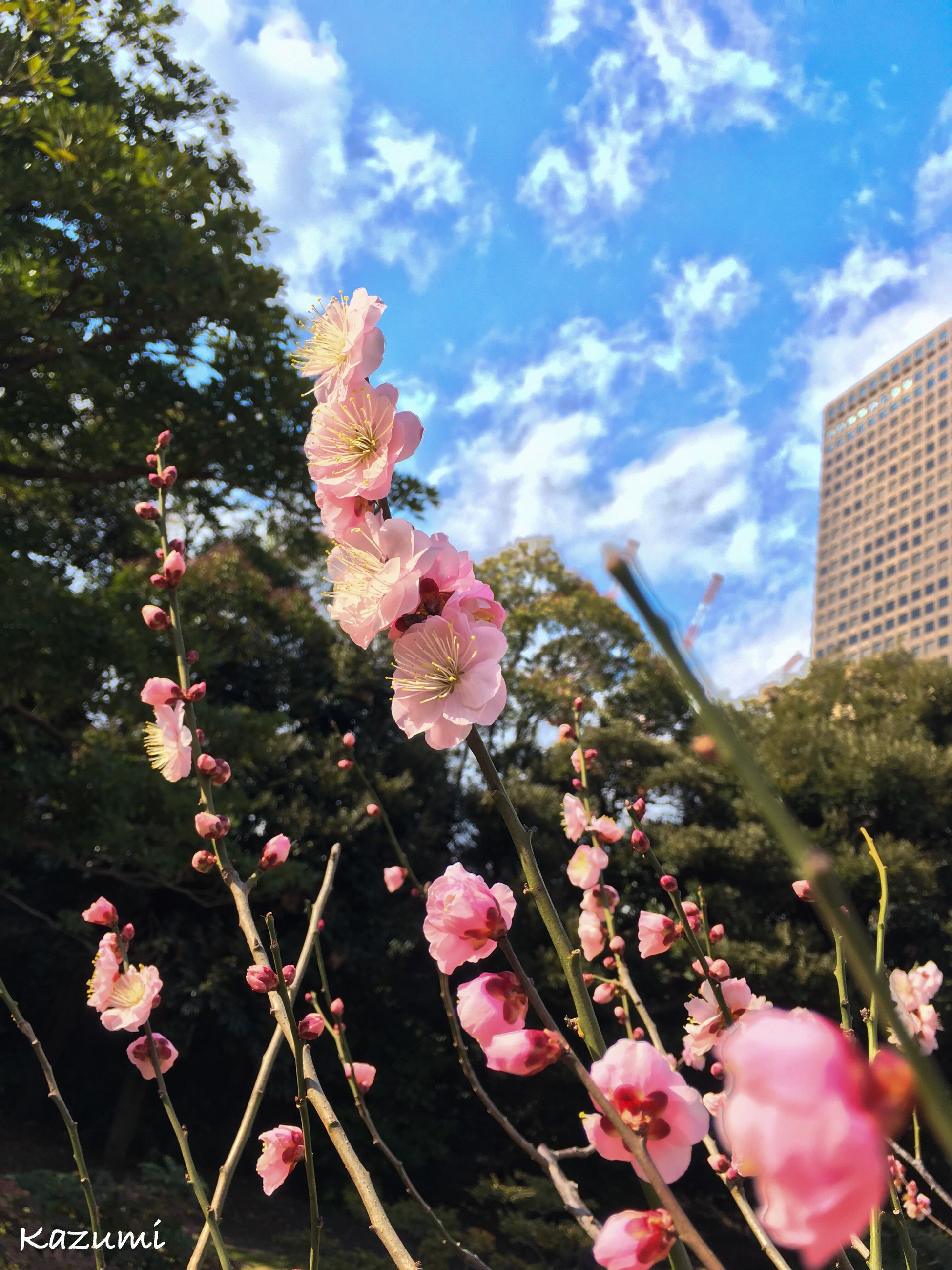 flower, growth, sky, nature, tree, fragility, beauty in nature, low angle view, pink color, plant, day, sunlight, no people, springtime, built structure, outdoors, blossom, flower head, cloud - sky, blooming, freshness, city, architecture, close-up