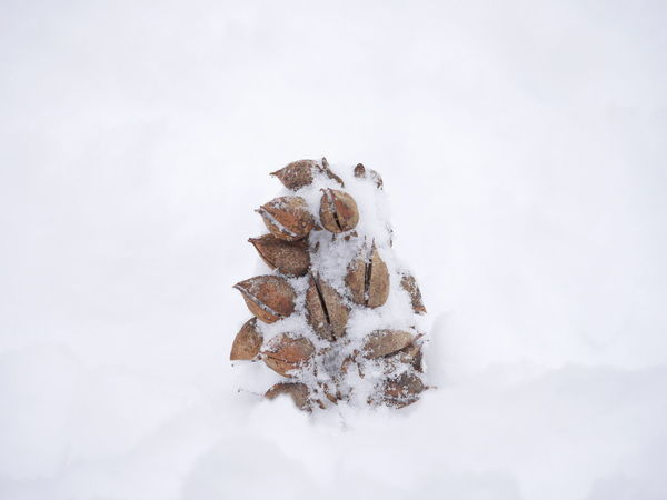Beauty In Nature Botanical Cold Temperature Frozen No People Outdoors Snow White Background Winter Shades Of Winter