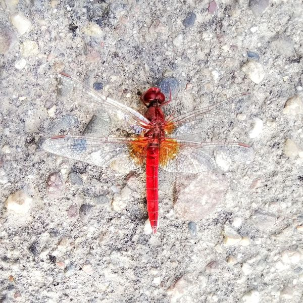 tatianakipka Insect Red Close-up Dragonfly Red Color Ground