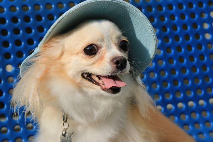 Close-up of pomeranian dog wearing hat