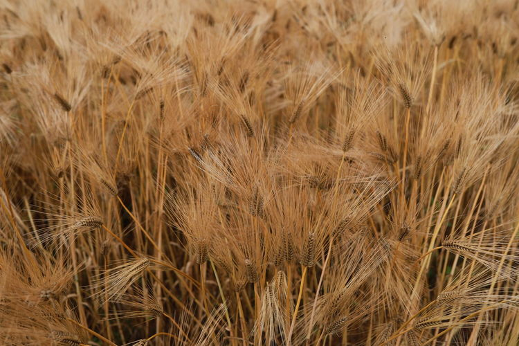 Full frame shot of wheat field