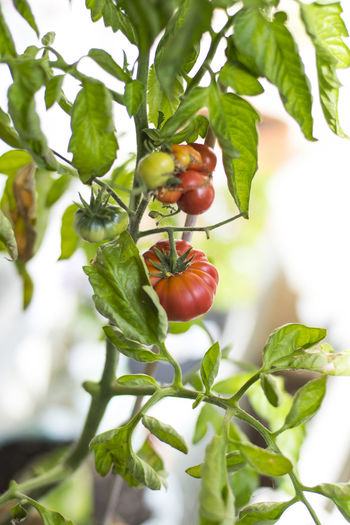 Close-up of tomatoes growing on tree