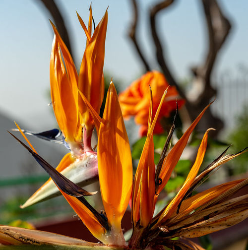 Flowering Plant Flower Freshness Beauty In Nature Bird Of Paradise - Plant Nature Focus On Foreground Outdoors No People Flower Head Plant Day Orange Color