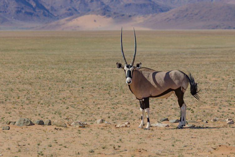 Full length side view of oryx standing on land