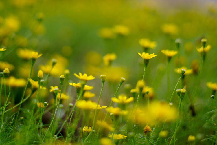 Flower Flower Head Beauty Closing Yellow Summer Springtime Rural Scene Uncultivated Defocused