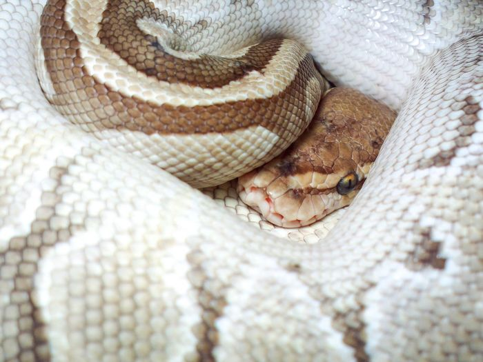 Python Eyes. (Ball Python : Lesser) Reptile One Animal Snake Close-up Indoors  Python Animal Skin Scale  Ballpython Exotic Pets Animal Animals