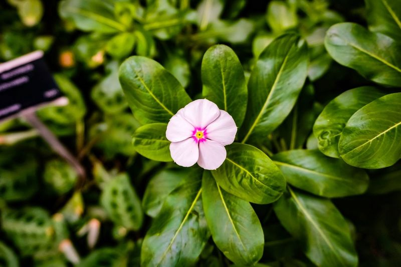 Pink petals Photography416 Flower Plant Flowering Plant Freshness Beauty In Nature Growth Leaf Plant Part Green Color Fragility Vulnerability  Petal Close-up Flower Head Inflorescence Focus On Foreground Nature No People Pink Color